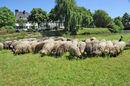 20110525_schapen_Griendijk.JPG