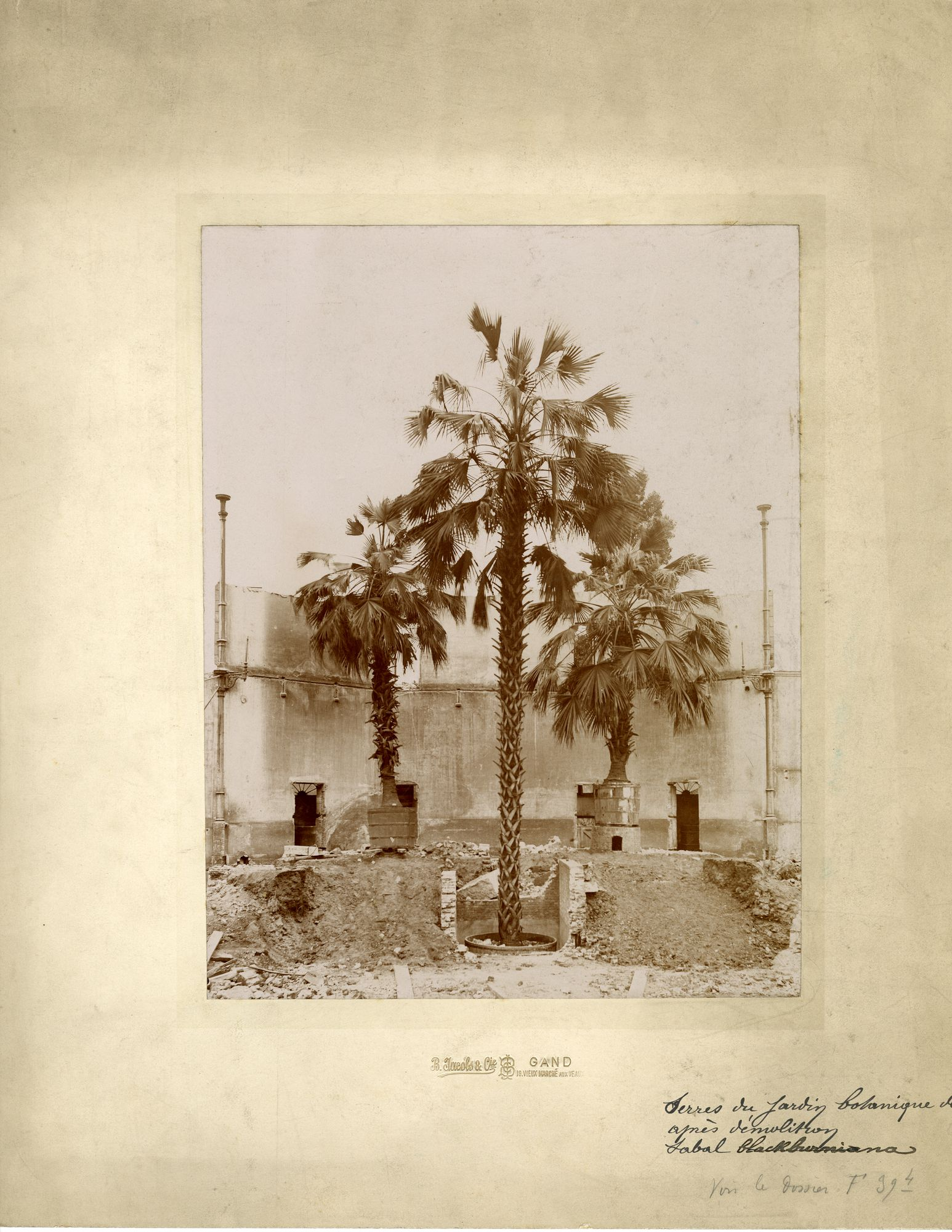 Gent: Baudeloabdij: afbraak van de serres van de plantentuin, met palmen (Sabal Blackburniana) in potten, na 1904